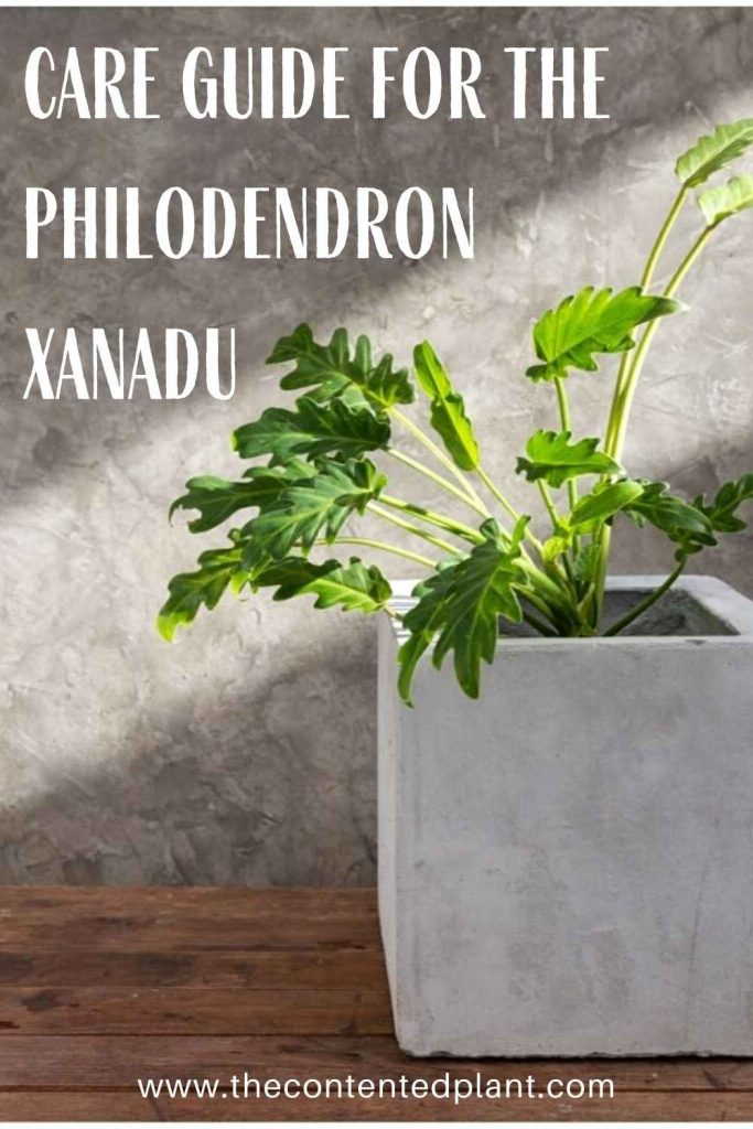 Care guide for the philodendron xanandu-pin image