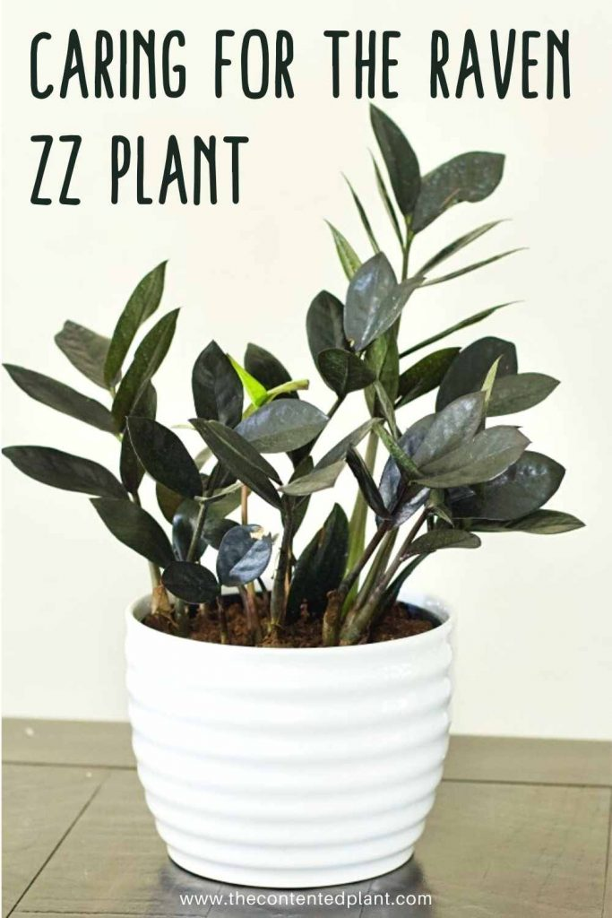 Caring for the raven zz plant-pin image