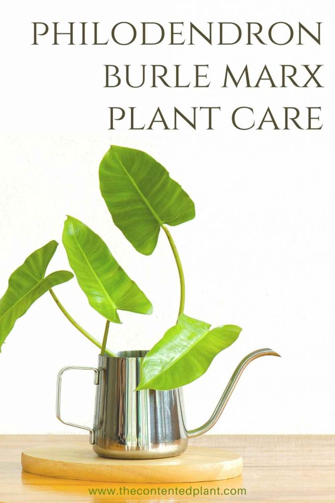 Philodendron burle marx plant care-pin image