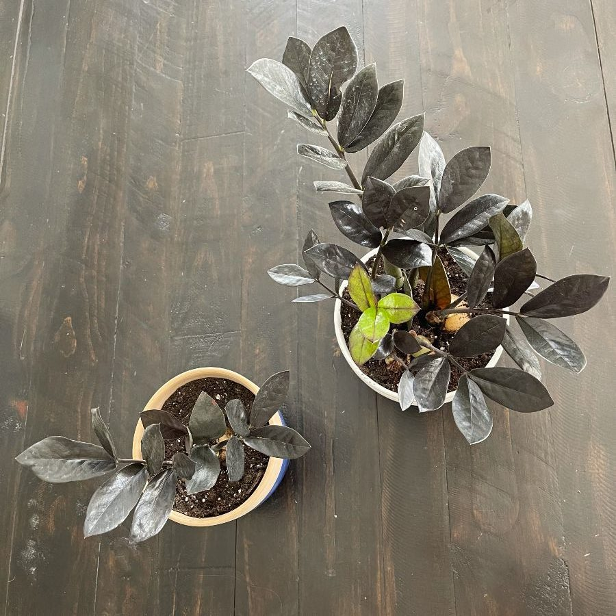 propagating zz plant =-two plants from one