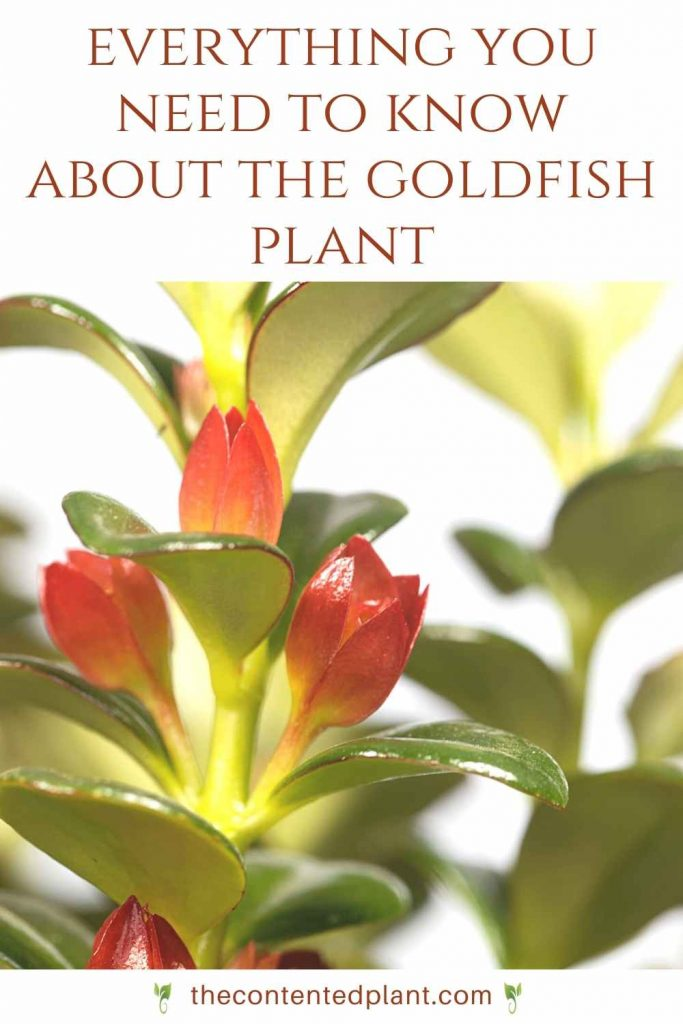 Everything you need to know about the goldfish plant-pin image