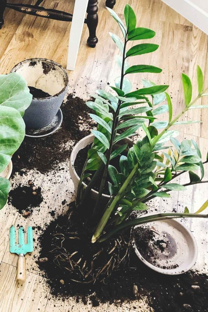 zz plant unpotted