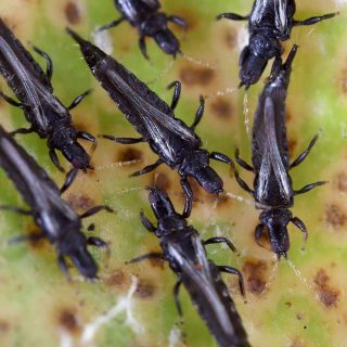 adult thrips