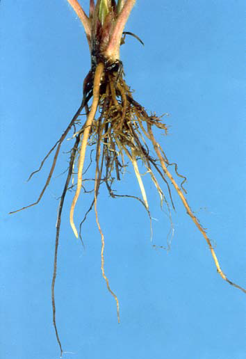 root rot in strawberry plant