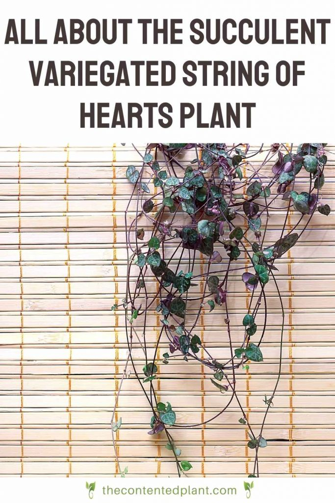 All about the succulent variegated string of hearts plant-pin image