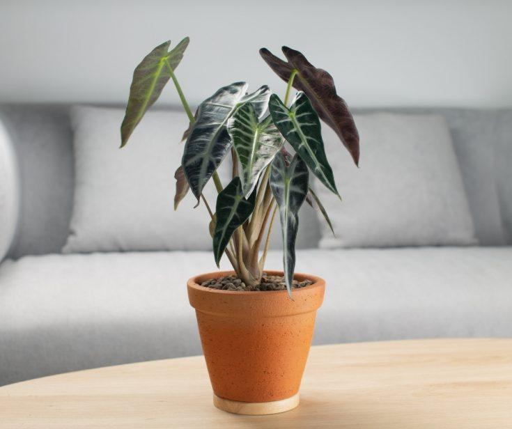 bambino plant