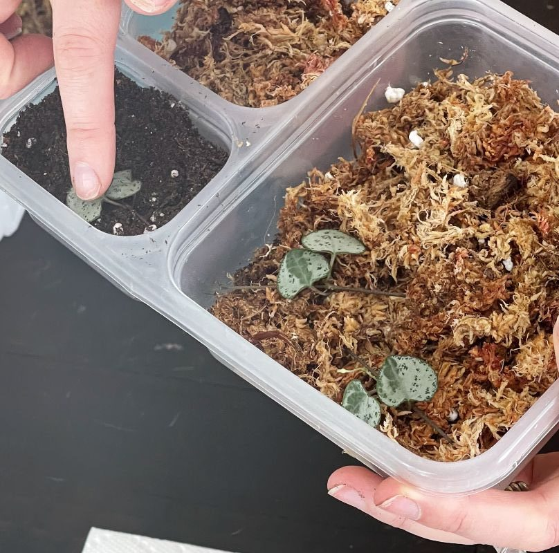 butterfly propagation in soil and moss