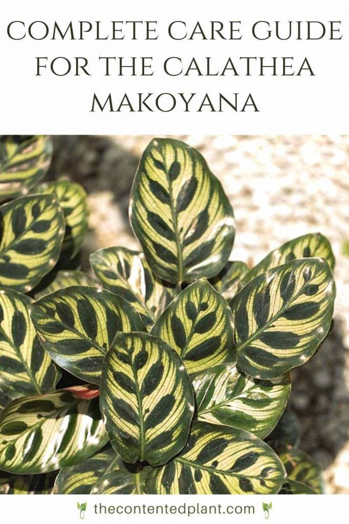 Complete care guide for the calathea makoyana-pin image