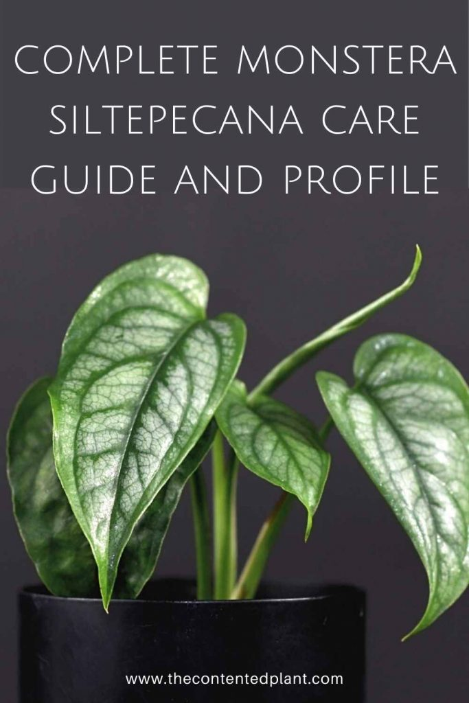 Complete monstera siltepecana care guide and profile-pin image