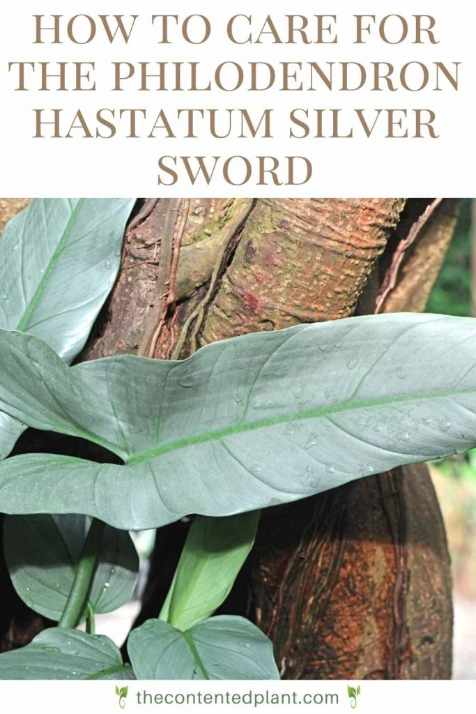How to care for the philodendron hastatum silver sword-pin image