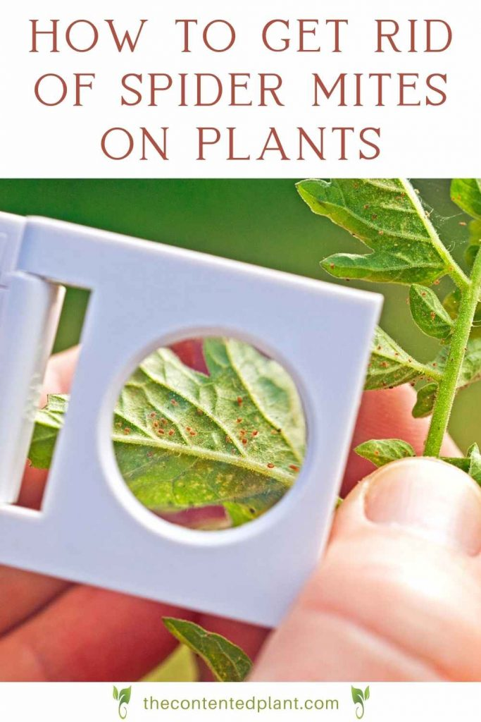 How to get ride of spider mites on plants-pin image