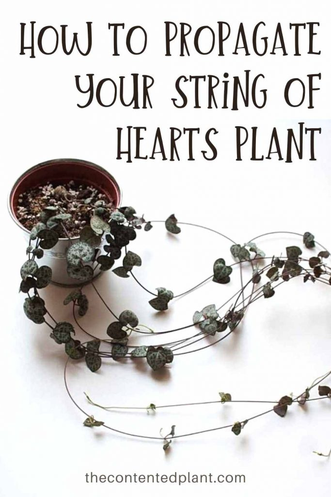 How to propagate your string of hearts plant-pin image
