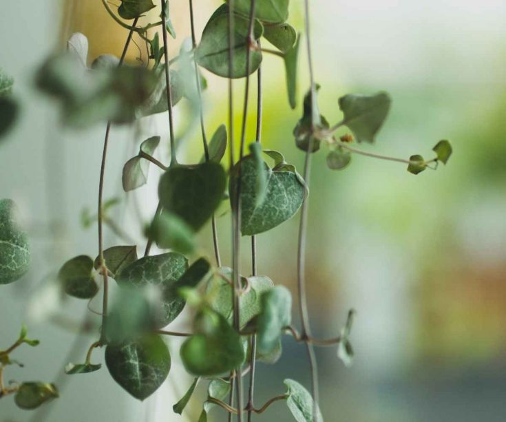 string of hearts-rosary vine
