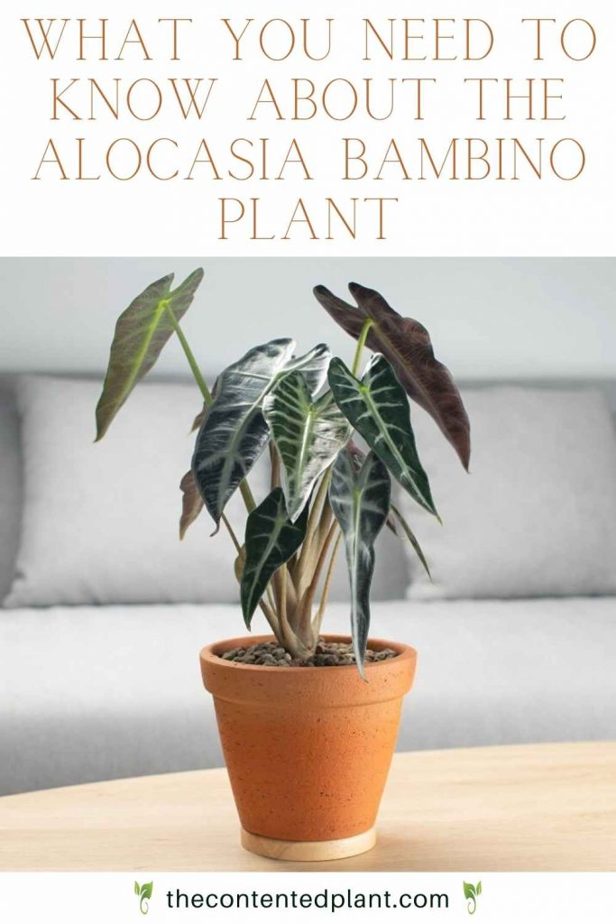 What you need to know about the alocasia bambino plant-pin image