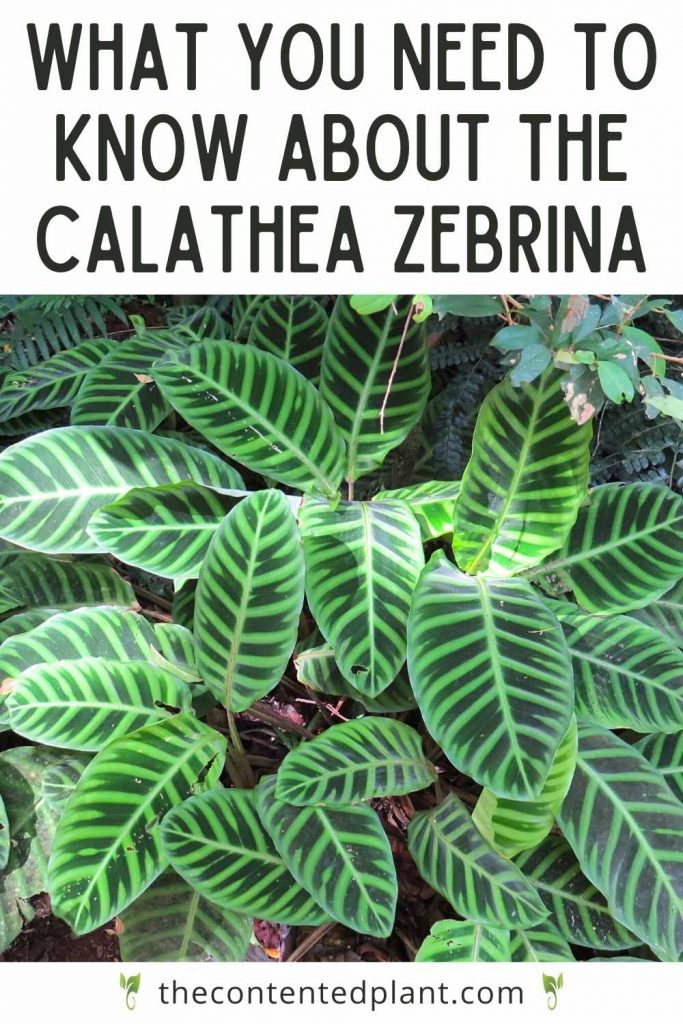 What you need to know about the calathea zebrina-pin image