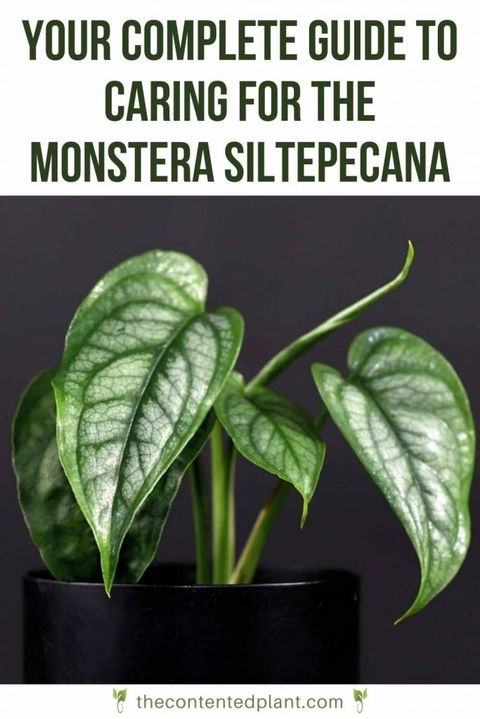 Your complete guide to caring for the monstera siltepecana-pin image