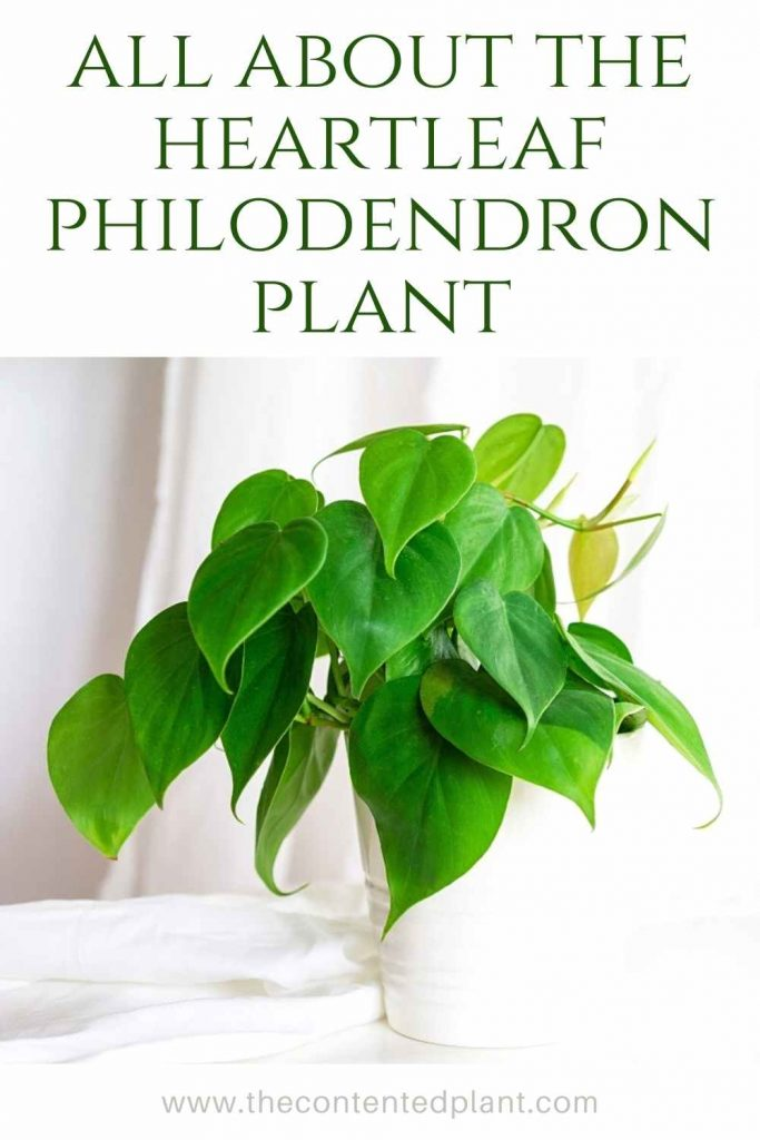 All about the heartleaf philodendron plant-pin image