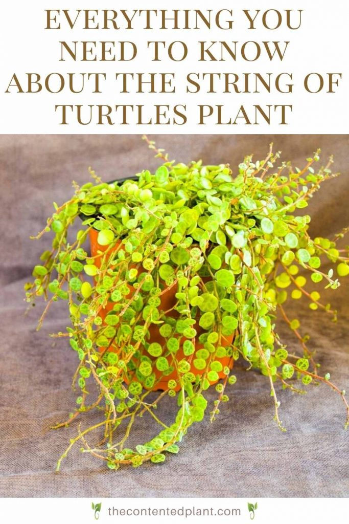 Everything you need to know about the string of turtles plant-pin image