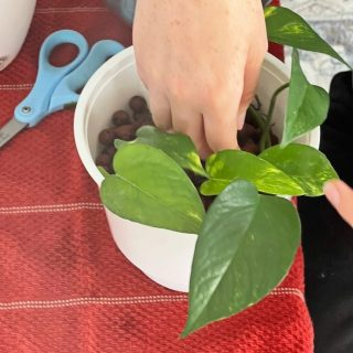 planting bare root water propagation golden pothos in leca balls