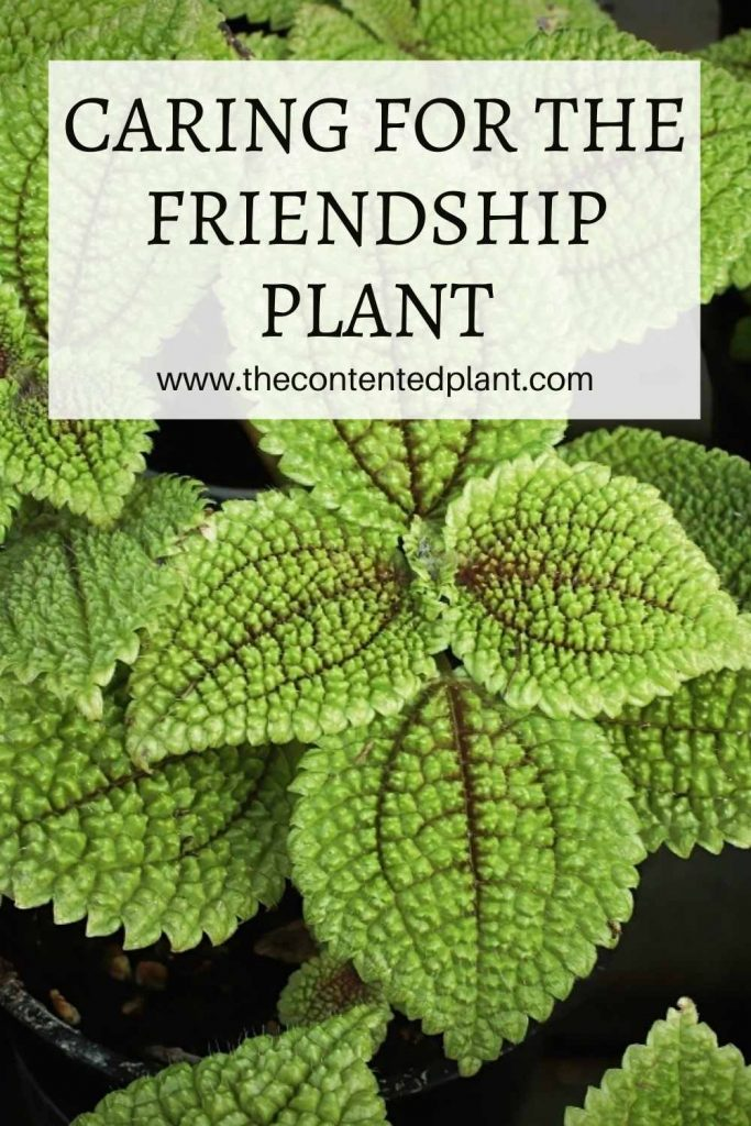 Caring for the friendship plant-pin image
