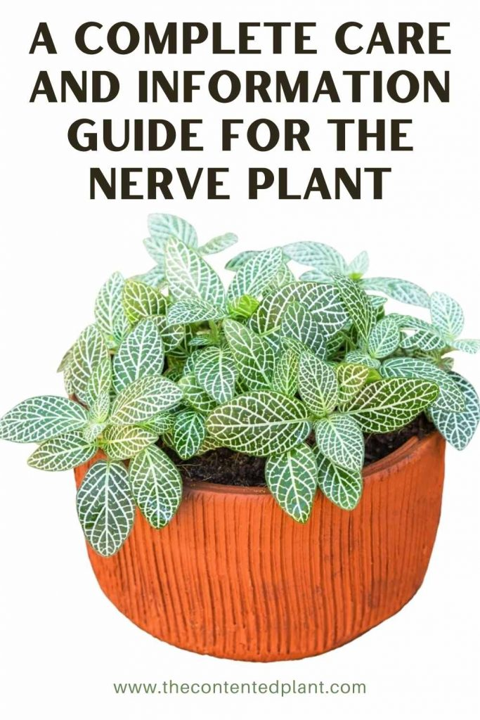 A complete care and information guide for the nerve plant-pin image