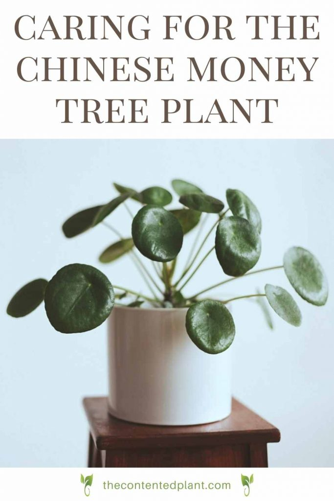 Caring for the chinese money tree plant-pin image