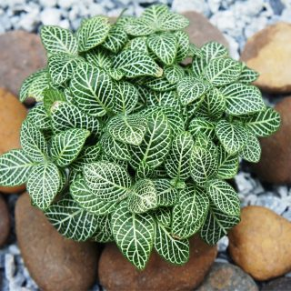 fittonia or mosaic nerve plant