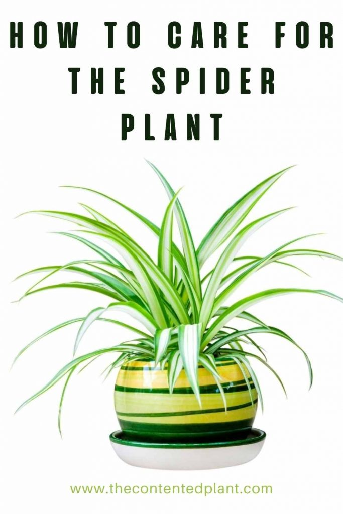 How to care for the spider plant-pin image