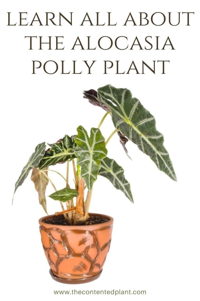 Learn all about the alocasia polly plant-pin image
