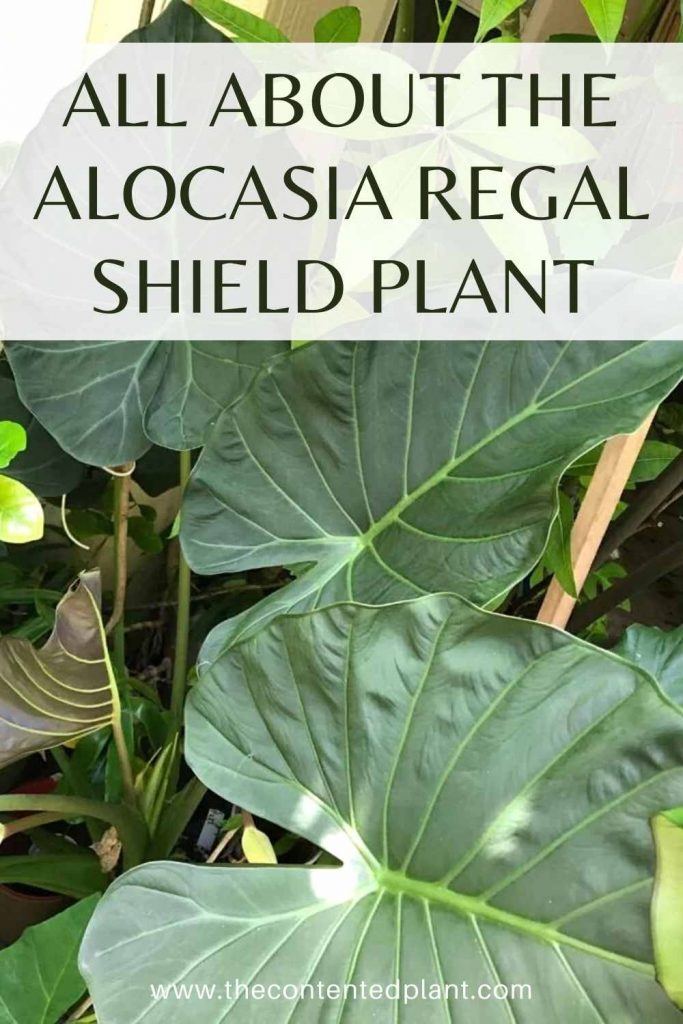 All about the alocasia regal shield plant-pin image