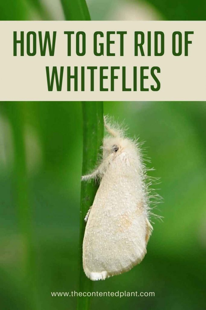 How to get rid of whiteflies-pin image