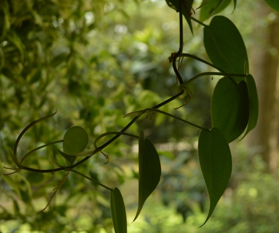 philodendron hanging
