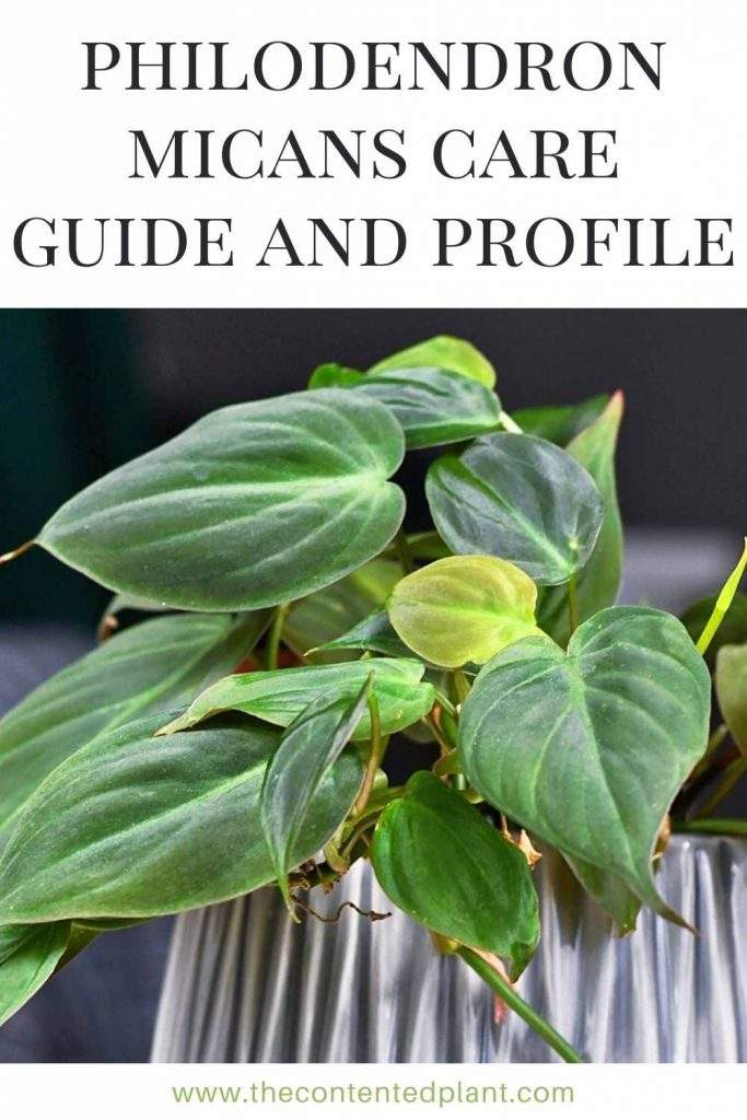 Philodendron micans care guide and profile-pin image