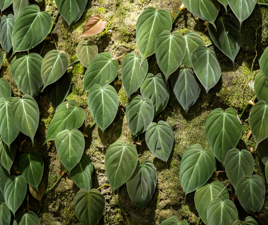 philodendron micans wild